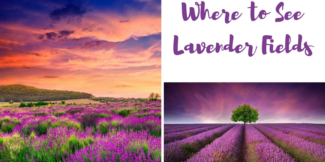 Where to Find Lavender Fields Around the World