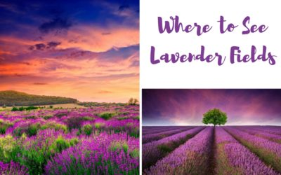 Where to Find Lavender Fields Around the World