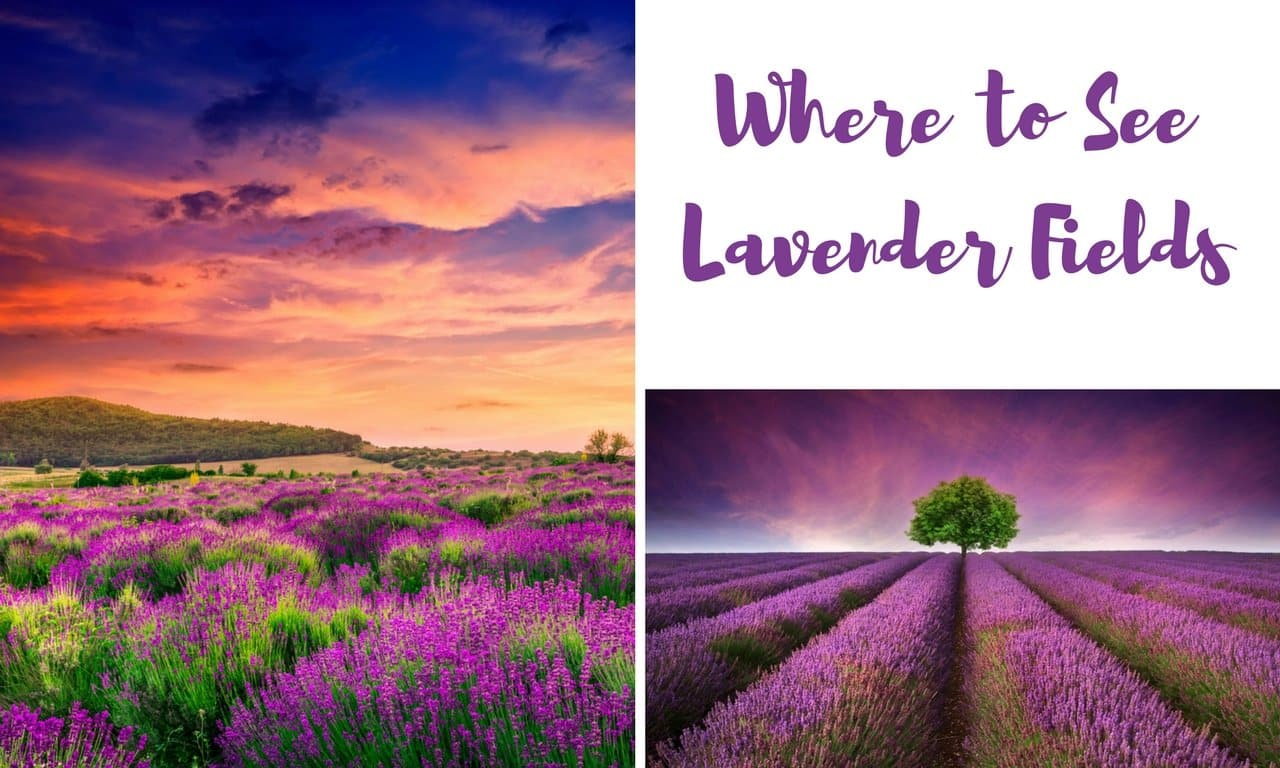 Where can I see lavender fields