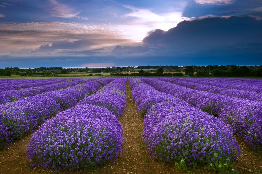 Heacham Lavender Field in North Norfolk, England