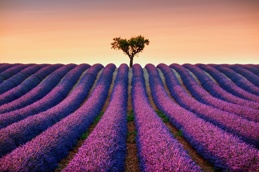 Lavender flowers blooming field and a lonely tree uphill on sunset. Valensole, Provence, France, Europe