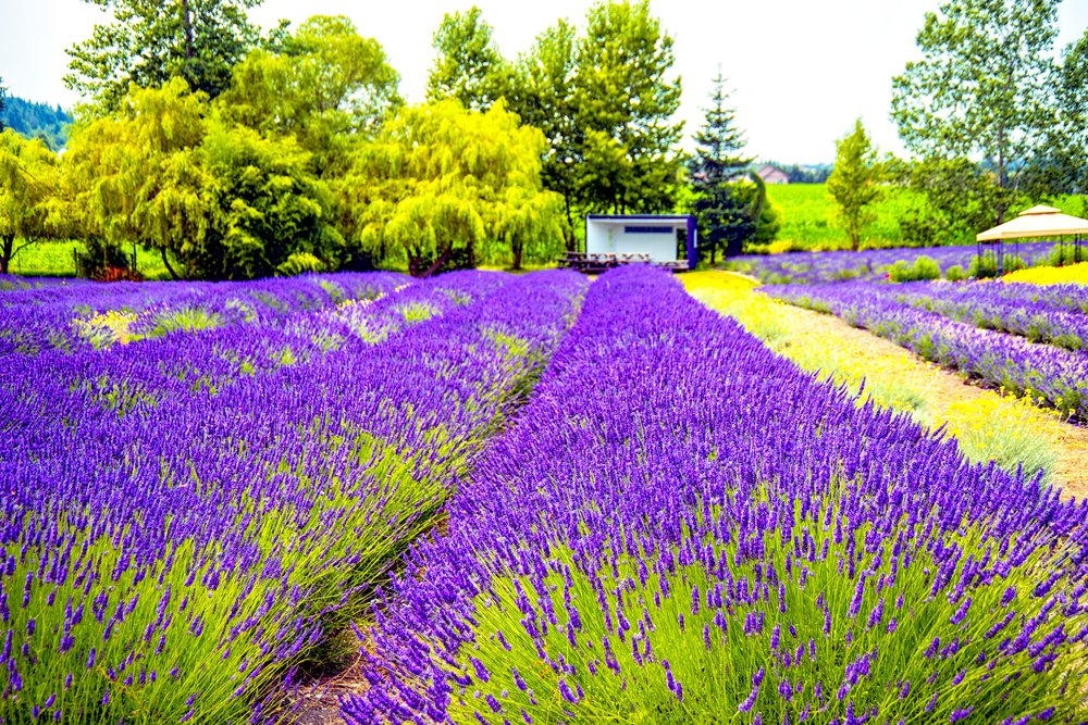 Beautiful Nature world - Colorful Lavender Blooming field in Sequim