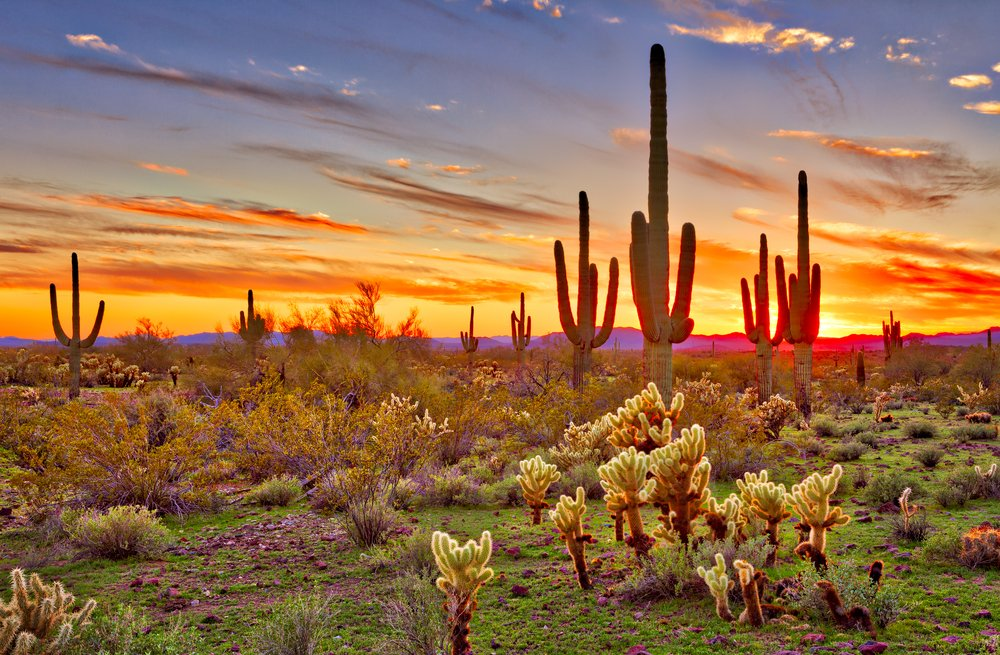 Saguaros at Sunset in Sonoran Desert near Phoenix