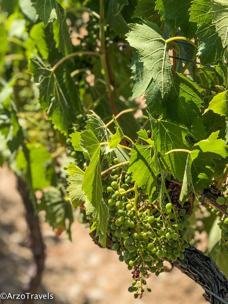 Grapes Ruffino in Tuscany estate with Arzo Travels