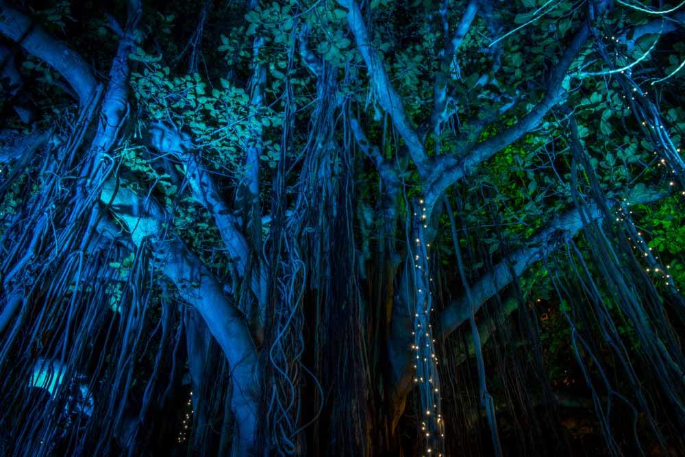 Banyan Tree Lighting in Hawaii in December