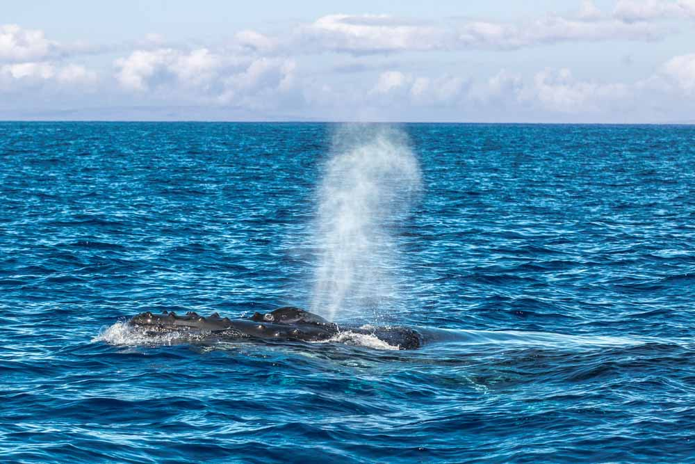 Humpback Whale spout in Maui is one of the best things to do in Hawaii in winter